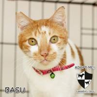 Basu - CARA rescued cat - pet for adoption - animal welfare in the Philippines