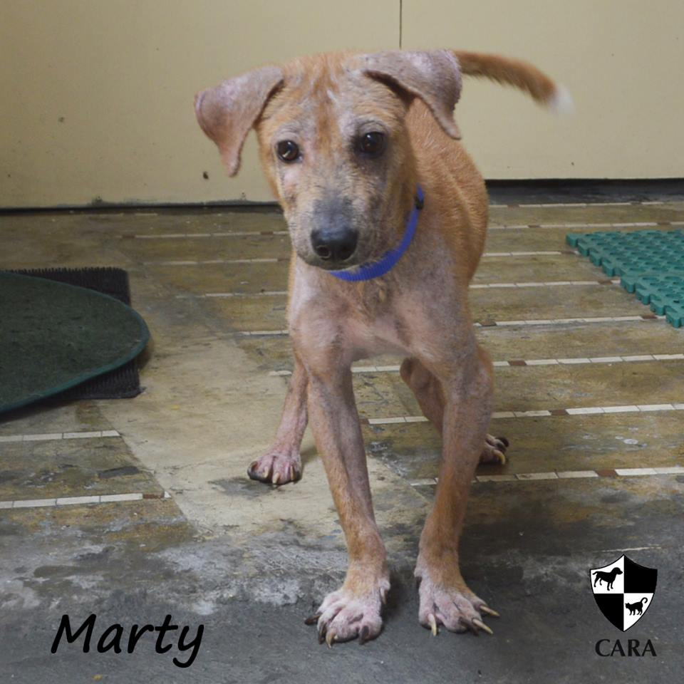 Marty - CARA rescued dog - pet for adoption - animal welfare in the Philippines