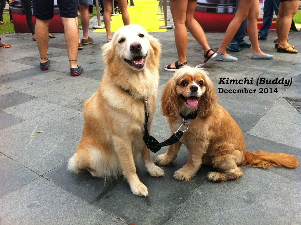 CARA - Animal Welfare in the Philippines - Adopted dog - Buddy Kimchi - Ginger