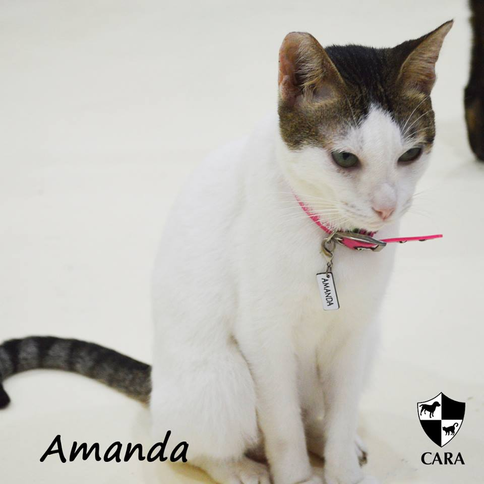 Amanda - CARA rescued cat - pet for adoption - animal welfare in the Philippines