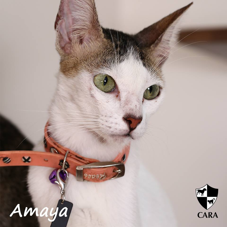 Amaya - CARA rescued cat - pet for adoption - animal welfare in the Philippines