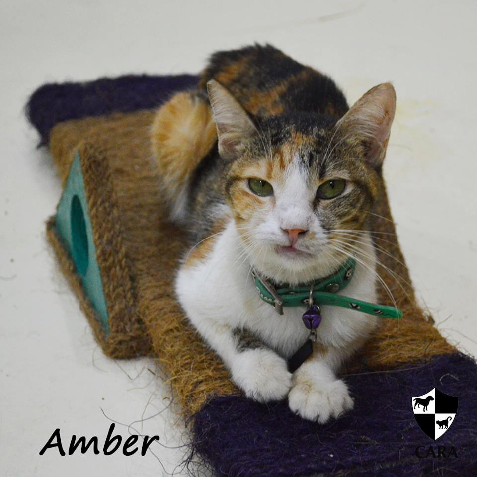 Amber - CARA rescued cat - pet for adoption - animal welfare in the Philippines