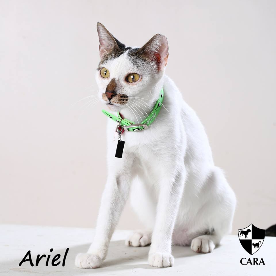 Ariel - CARA rescued cat - pet for adoption - animal welfare in the Philippines