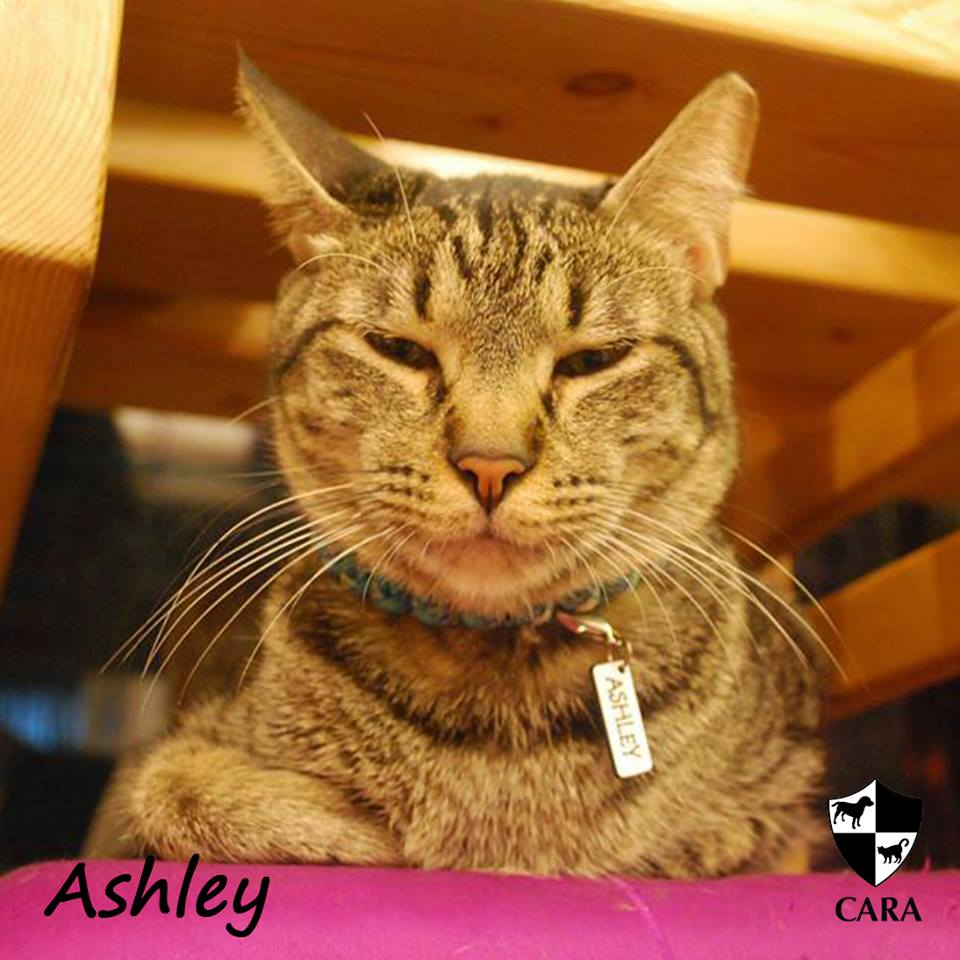 Ashley - CARA rescued cat - pet for adoption - animal welfare in the Philippines