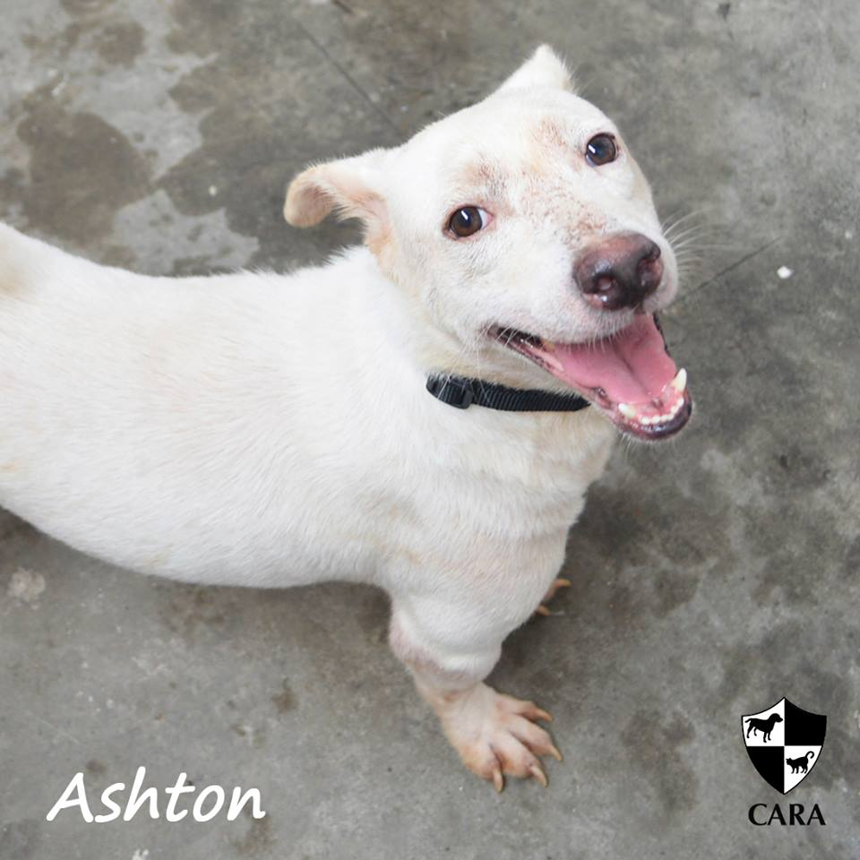 Ashton - CARA rescued dog - pet for adoption - animal welfare in the Philippines