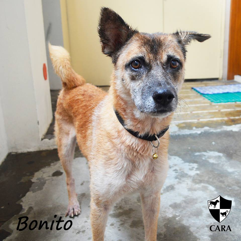 Bonito - CARA rescued dog - pet for adoption - animal welfare in the Philippines