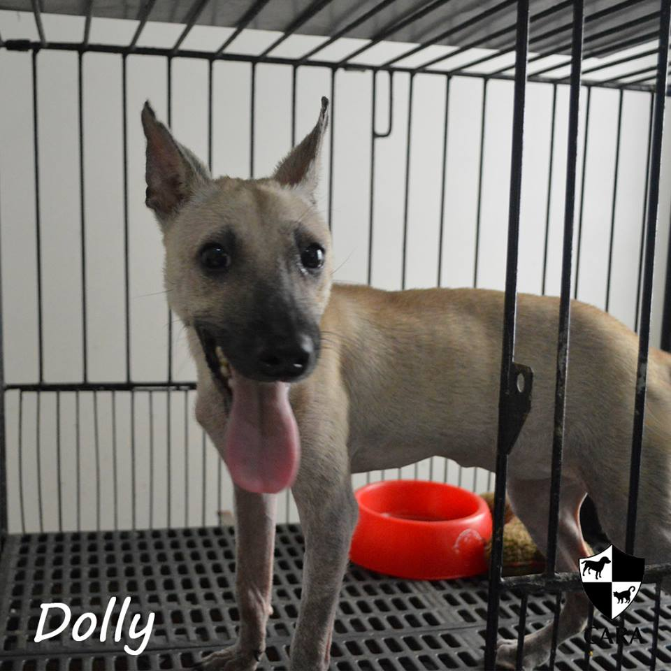 Dolly - CARA rescued dog for adoption - animal welfare in the Philippines