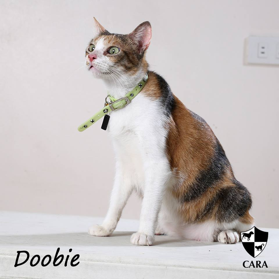 Doobie - CARA rescued cat - pet for adoption - animal welfare in the Philippines