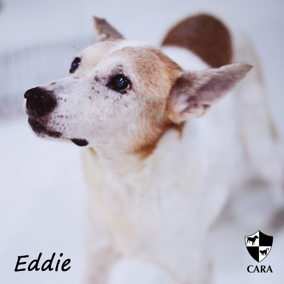 Eddie - CARA rescued dog - pet for adoption - animal welfare in the Philippines
