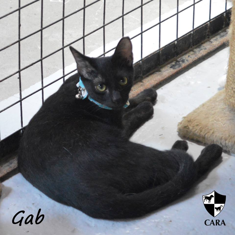 Gab - CARA rescued cat - pet for adoption - animal welfare in the Philippines