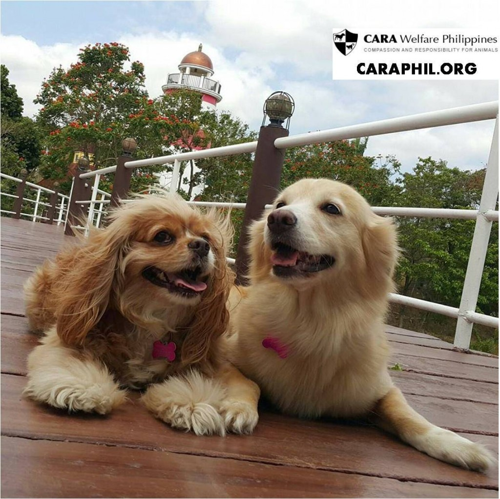 Kimchi with Ginger - CARA rescued dog - animal welfare in the Philippines - pet story