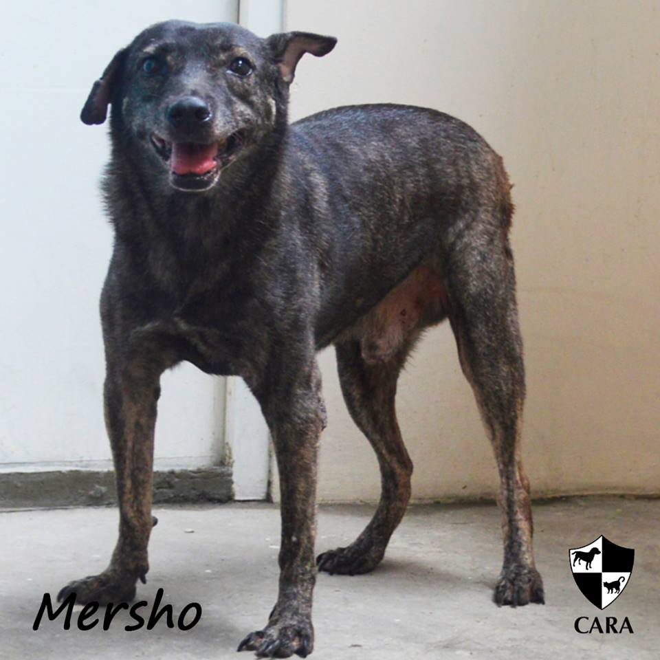 Mersho - CARA rescued dog - pet for adoption - animal welfare in the Philippines