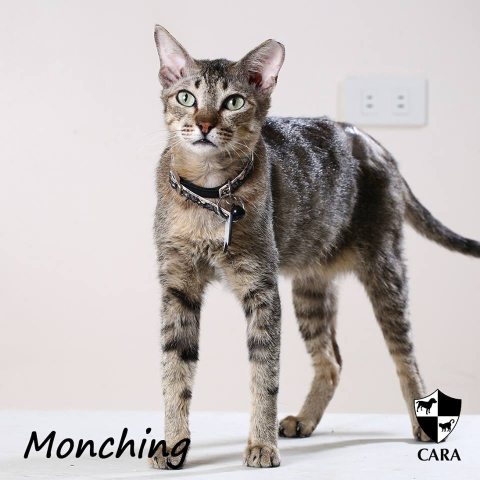 Monching - CARA rescued cat - pet for adoption - animal welfare in the Philippines