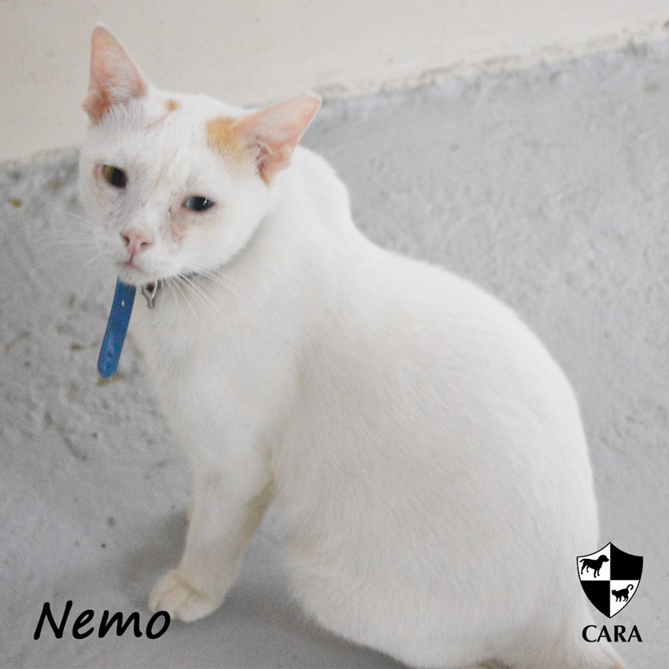 Nemo - CARA rescued cat - pet for adoption - animal welfare in the Philippines