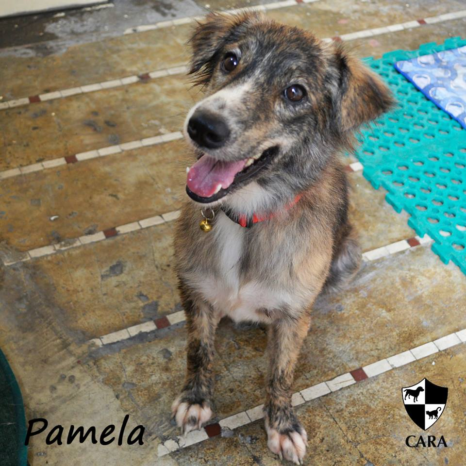 Pamela - CARA rescued dog - pet for adoption - animal welfare in the Philippines