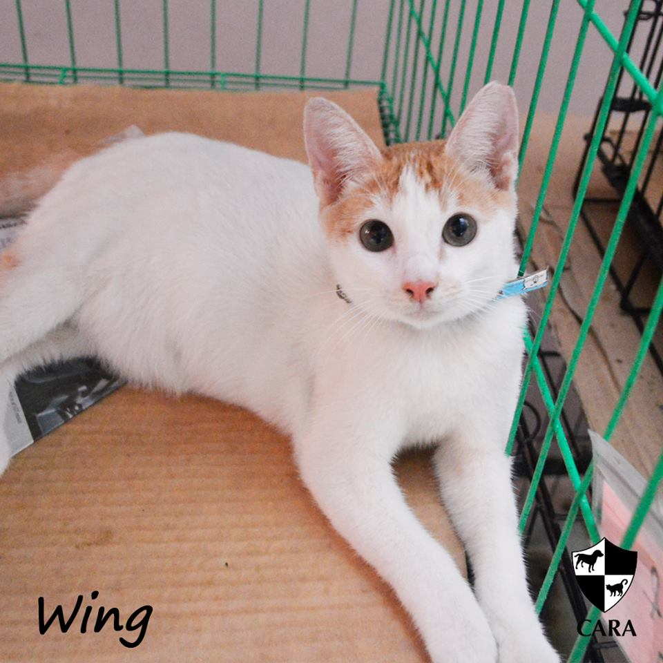 Wing - CARA rescued cat - pet for adoption - animal welfare in the Philippines