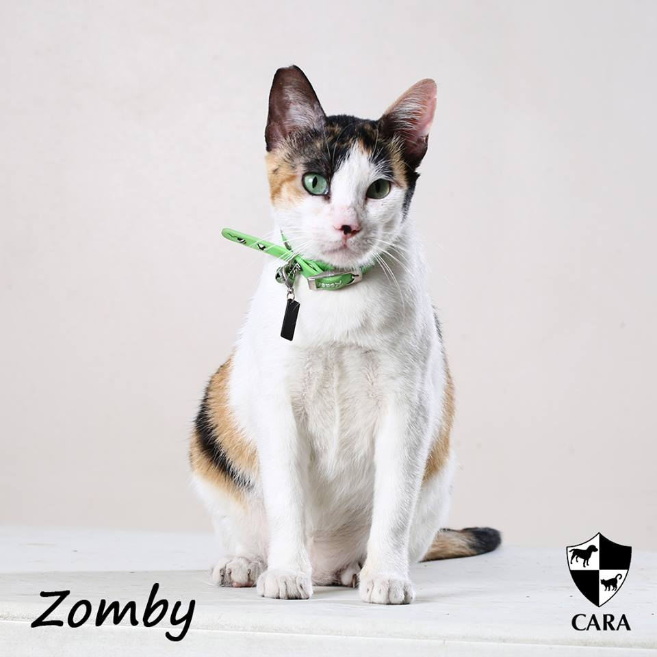 Zomby - CARA rescued cat - pet for adoption - animal welfare in the Philippines