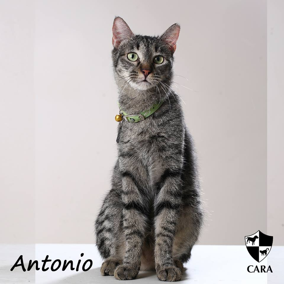 antonio - CARA rescued cat - pet for adoption - animal welfare in the Philippines