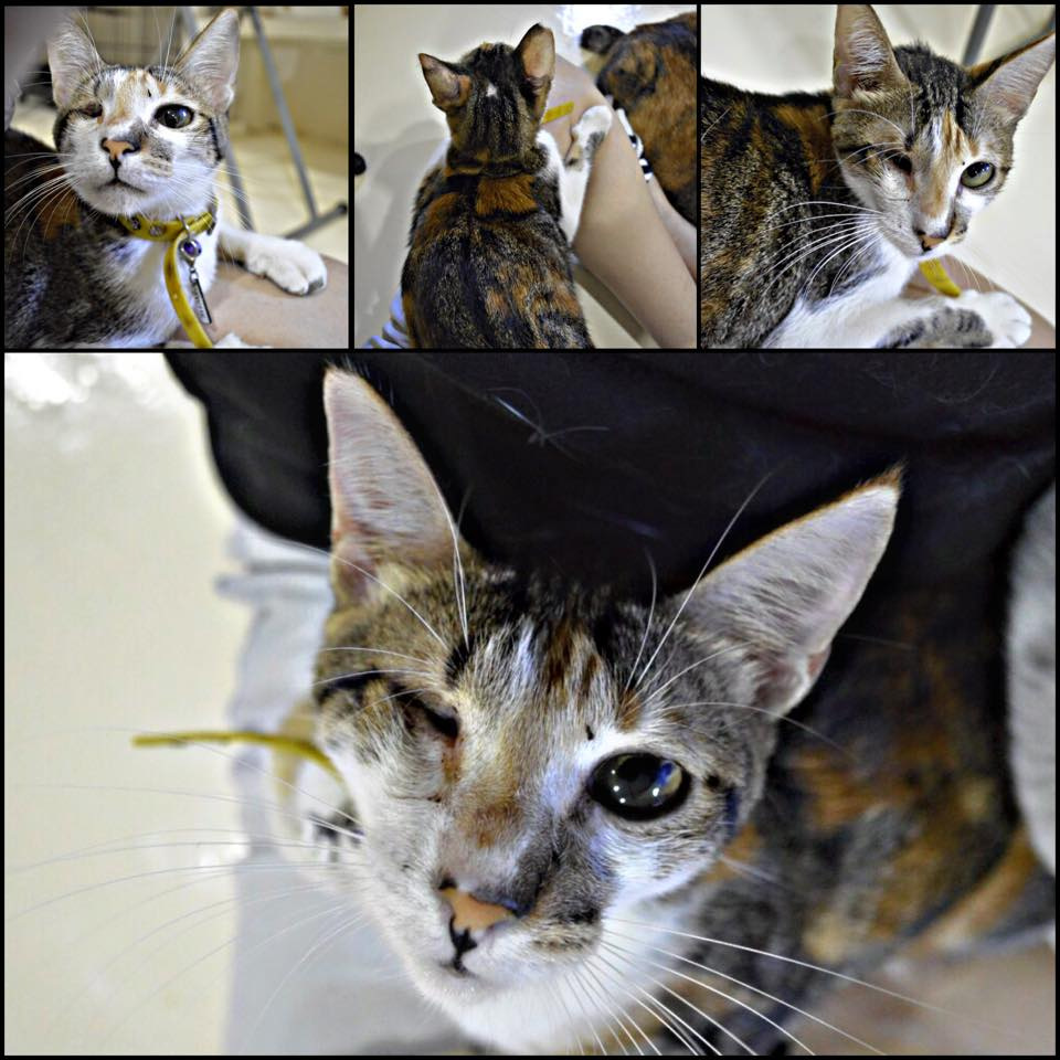 For Adoption: Psyche, Our Resident Lap Cat