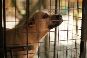 Save the Laguna Pit Bulls, Laguna Pit Bulls, LPB, Adopt don't shop, No to Dog Fighting