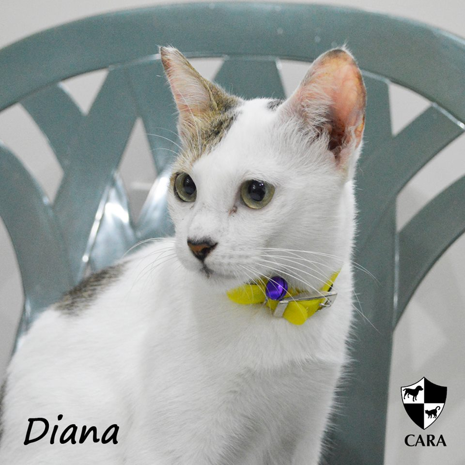 Diana - CARA rescued cat - pet for adoption - animal welfare in the Philippines