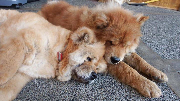 Zoey, the Chow from C5, enjoys cuddles with family