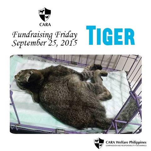 Fundraising Friday: Tender Tiger