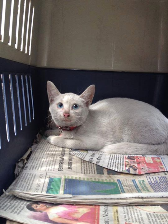 Found: Blue eyed Cat, is this your furbaby?
