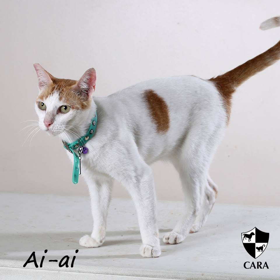 Ai-Ai - CARA rescued cat - pet for adoption - animal welfare in the Philippines