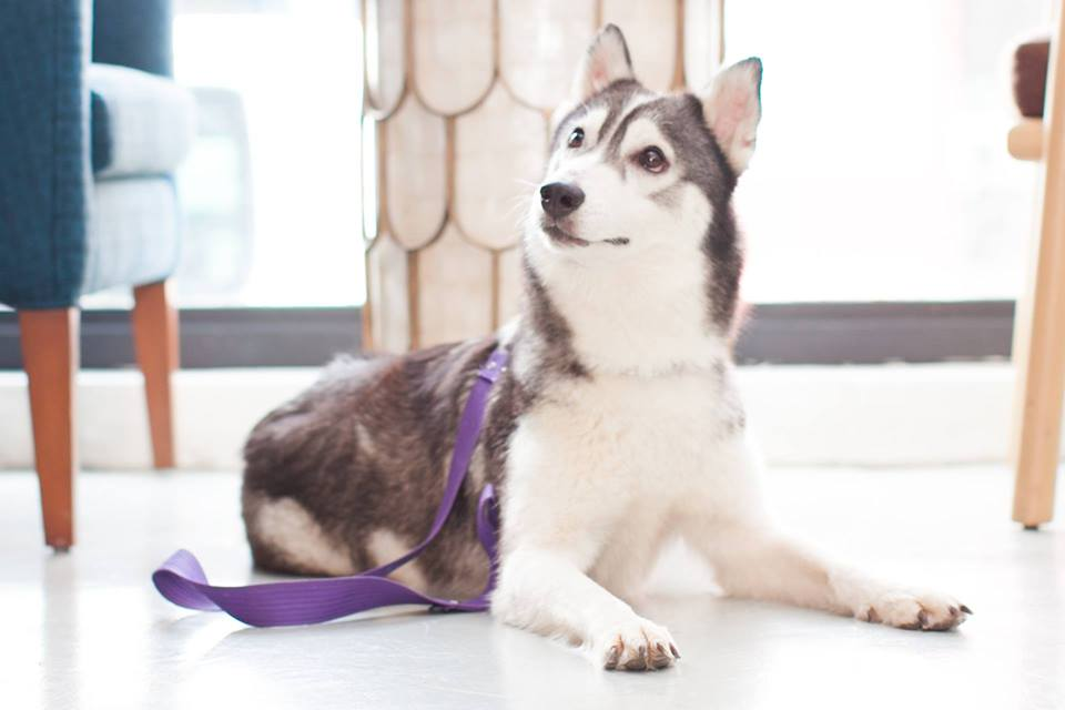Chica the Rescued Husky Dog is Up for Adoption