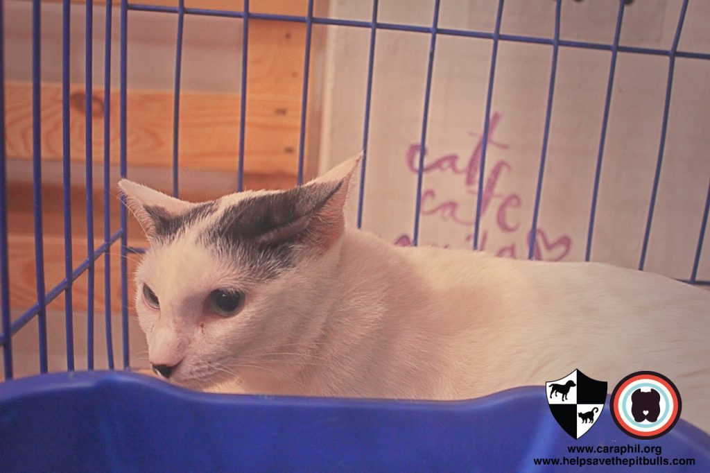 Sept-2017-Cat-Kittenn-Adoption-CatCafeManila-