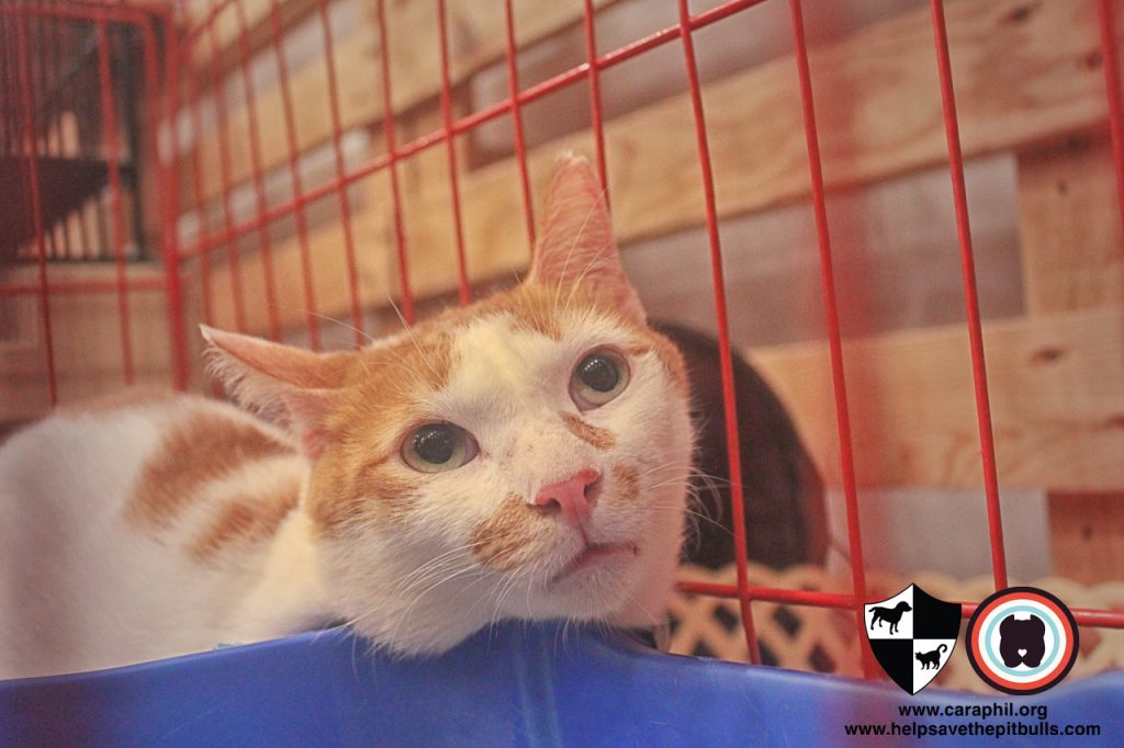 Sept-2017-Cat-Kitten-Adoption-CatCafeManila-Leo