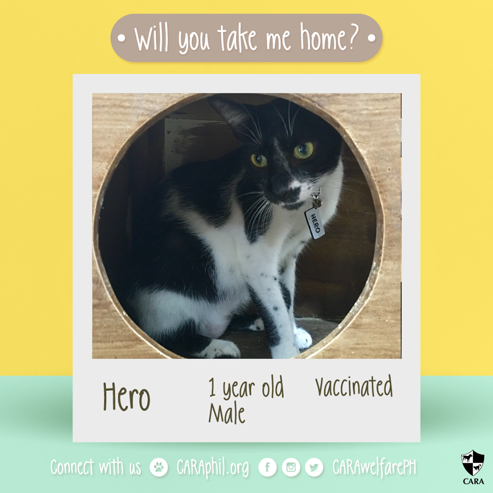 Featured Adoptable: CARA cat Hero