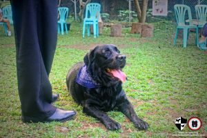Oct 2017 Ayala Alabang Village Dog Park CARA Welfare Philippines Event doggie labrador