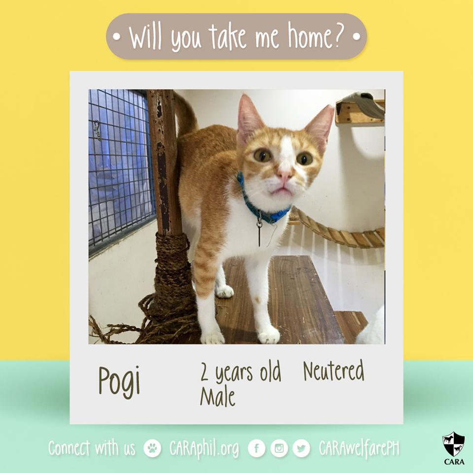 CARA Cat Adoptable: Pogi