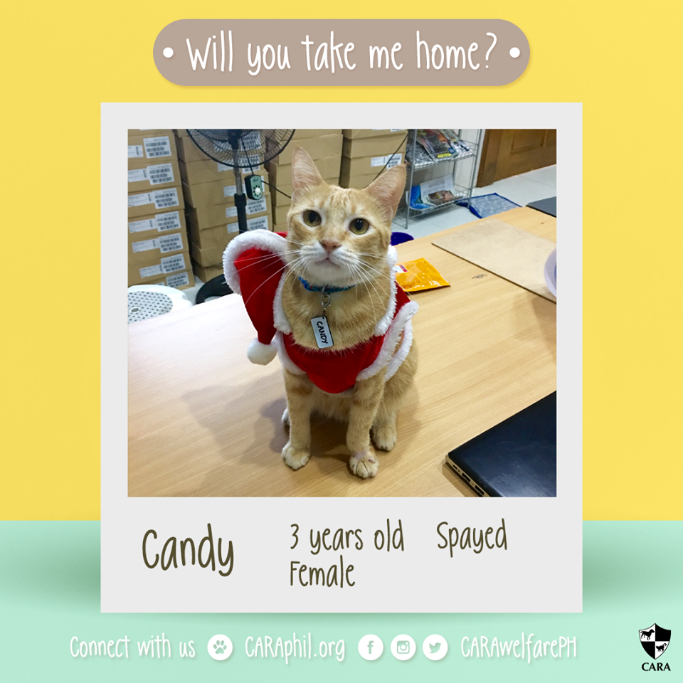 CARA Cat Candy Wants You To Take Her Home This Christmas!