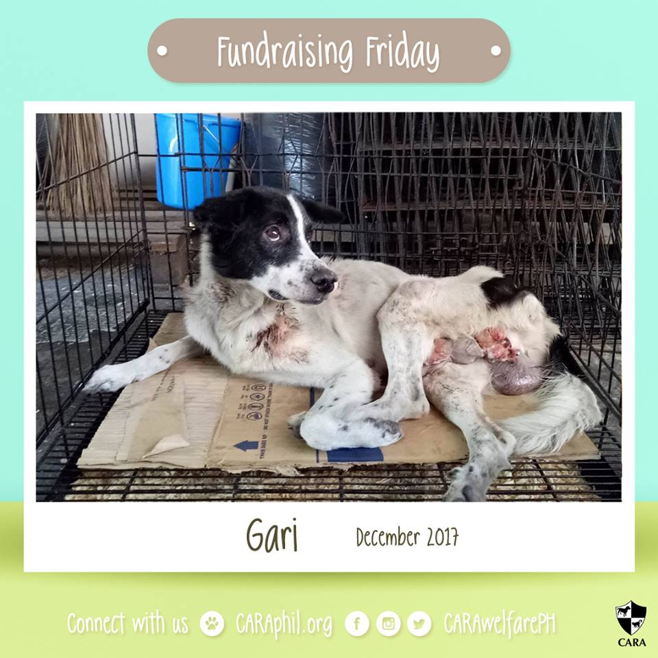 December 2017 - CARA Rescue Gari- CARA Welfare Philippines - AdoptDontShop