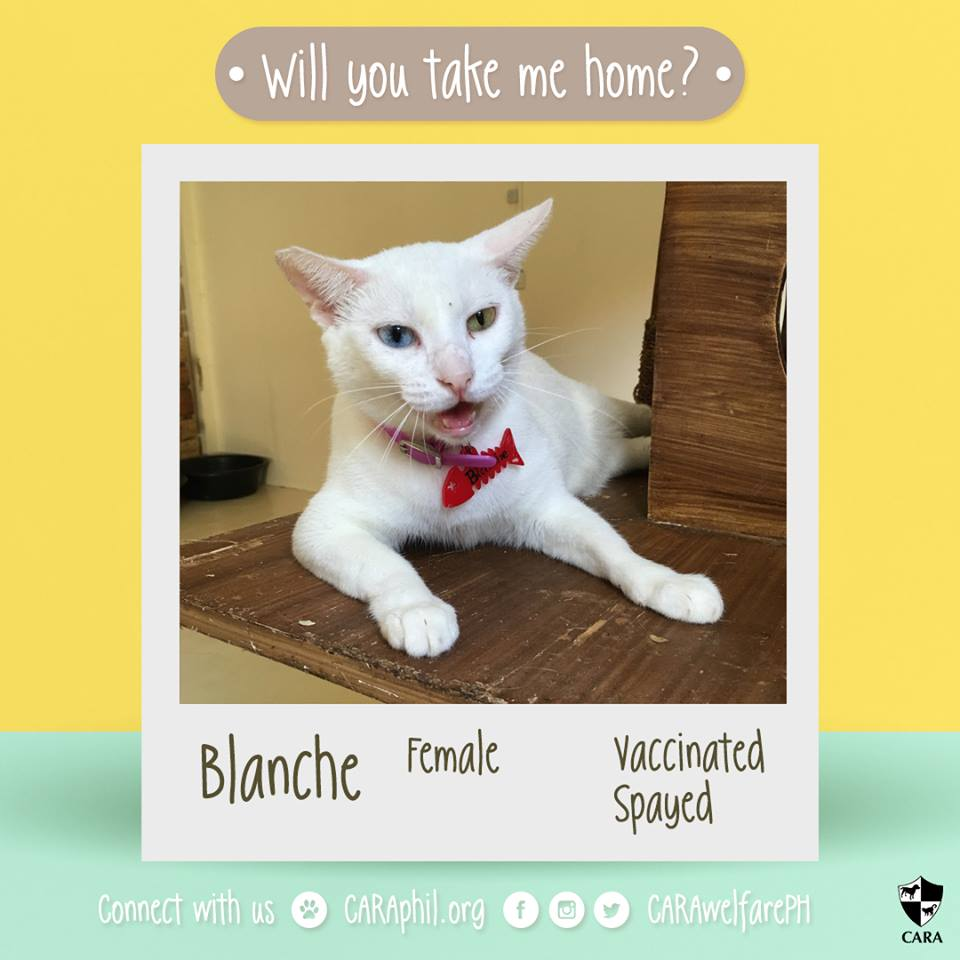 Dec 2017 - CARA Cat Blanche- AdoptDontShop Cara Welfare Philippines