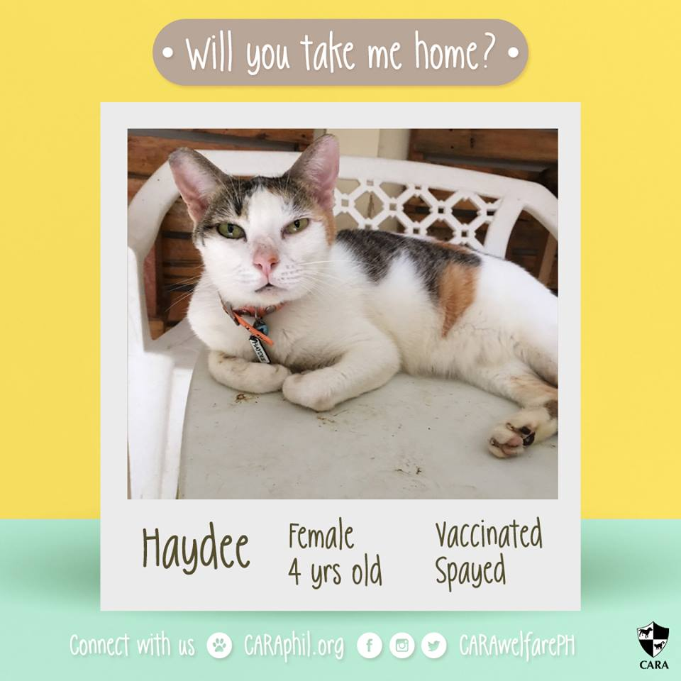 CARA Cat Haydee Is Looking For A Forever Home!