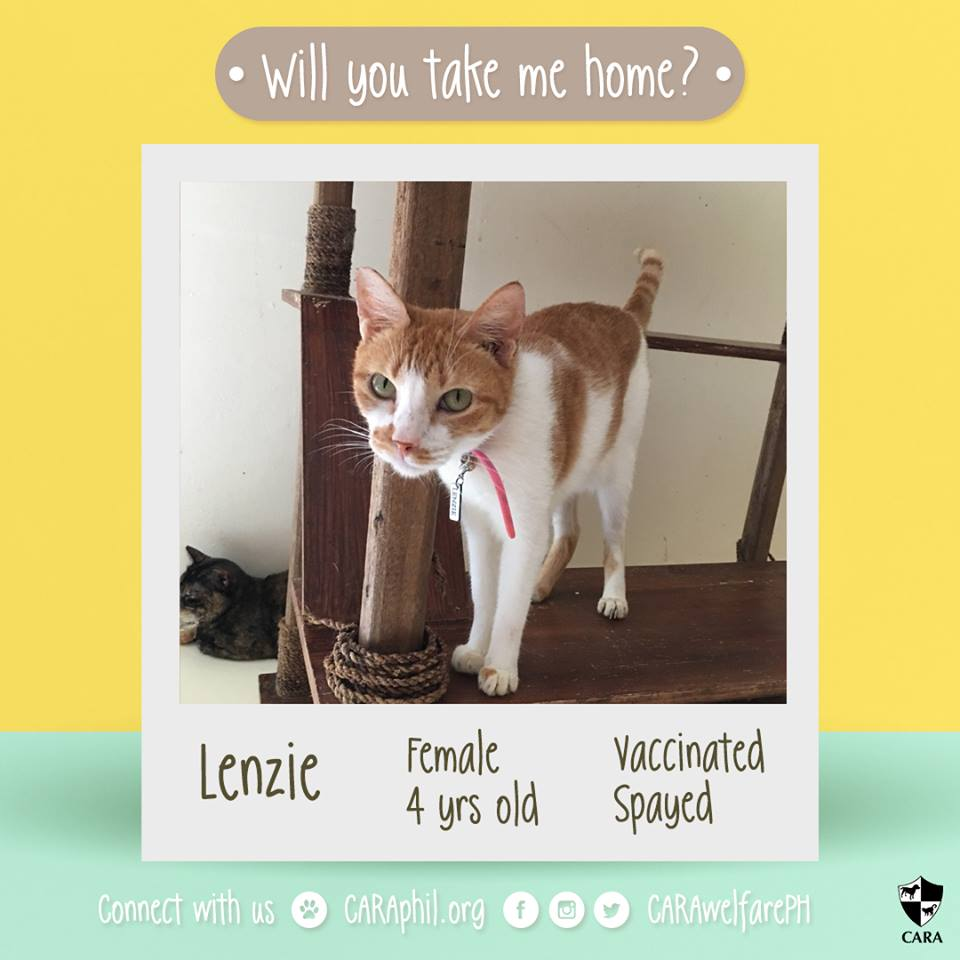 CARA cat Lenzie Is Longing For A Forever Home