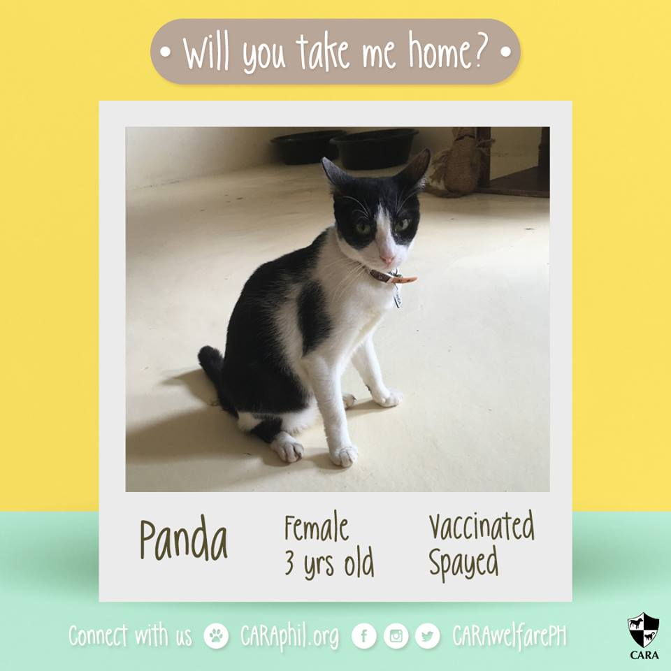CARA Cat Panda Is Looking For A Forever Home