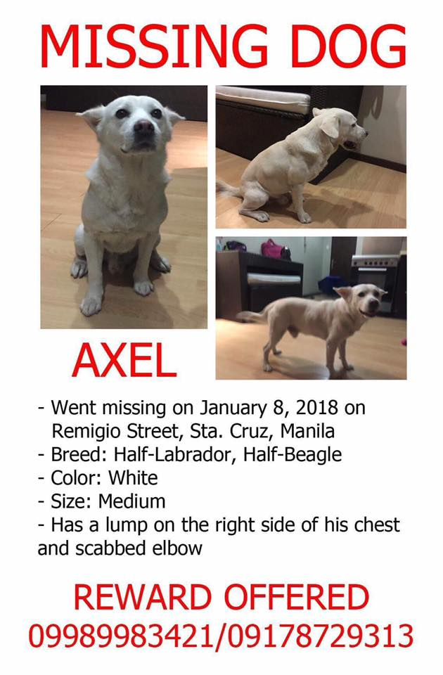 For Anyone Near Sta Cruz Manila, Please Keep A Lookout For Lost Dog Axel